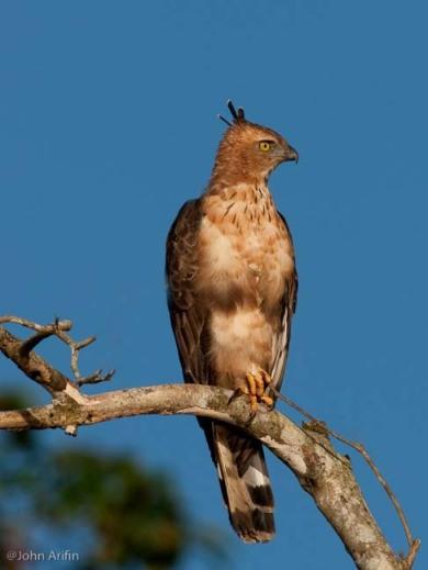 Wallace Hawk Eagle Borneo Bird Festival
