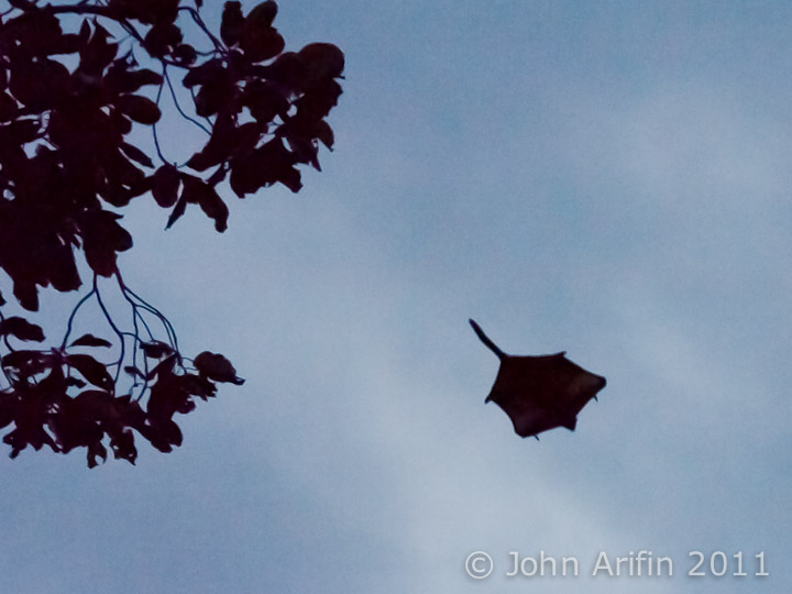 Bornean Red Giant Flying Squirrel Gliding