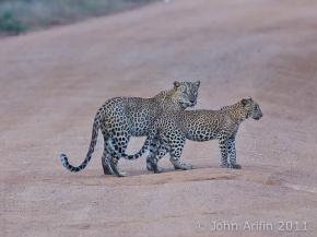 Sri Lanka Leopard, Kulu Wildlife PhotoSafaris