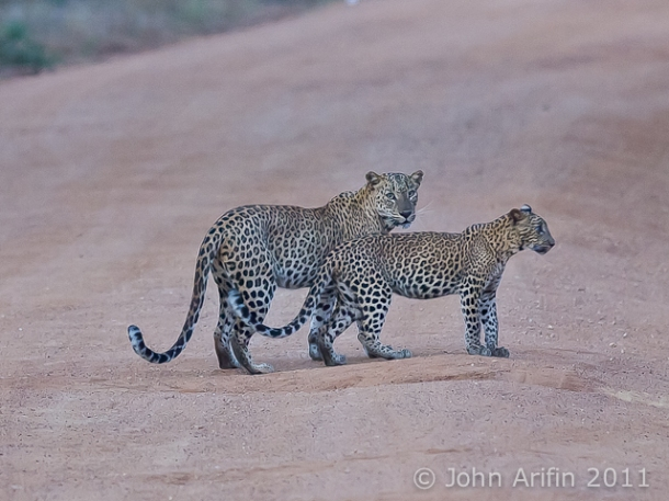 Sri Lanka Leopard and cub at Yala National Park