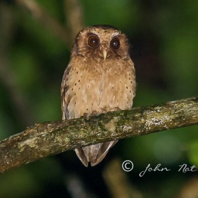 Reddish Scops Owl | Birds of Borneo