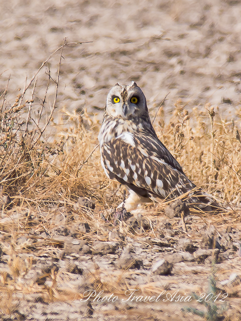 Short-eared Owl, Little Rann of Kutch, Gujarat.