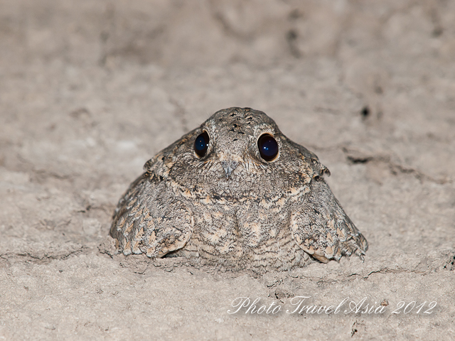 Sykes's Nightjar, Little Rann of Kutch, Gujarat