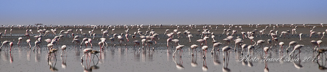 Flamingos in Gujarat
