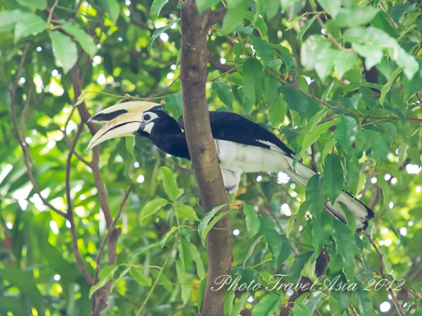 Southern Pied Hornbill  in Orchard Road Singapore