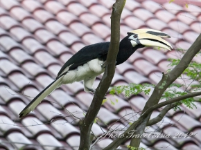 Southern Pied Hornbill, birds near Orchard Road,Singapore