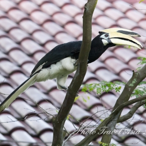 Southern Pied Hornbill, birds near Orchard Road, Singapore