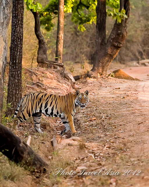 Photographing Tiger in Kanha and Bandhavgarh India