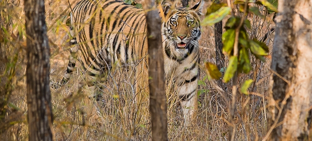 International & Global Tiger Day July 29 At the turn of 1900, there were estimated 100,000 tigers worldwide. Today, they were estimated only 5000 tigers in the world. Almost 95 % of them had perished in the last 100 years. The future for tiger will look bleak if no conservation effort is made. The International or Global Tiger Day on July 29 is to bring the awareness for wild tigers all around the world. In 2007, we visited Bandhavgarh and Kanha National Park in Central India. The Royal Bengal Tiger is the essence of Indian wildlife and the ultimate big cat that once roamed in large numbers all over Asia. Tiger is a symbol of power and beauty. If you are lucky, you may catch a glimpse of it before it disappears into the jungle. You can read up more about our trip to photograph tigers on Asian Geographic Magazine Issue 10/2007 or click to this link about the two two parks we visited. I urge you to see tiger in the wild at least once in your life time. It was one of the most beautiful experience we had ever encountered. Remember to protect tigers through the International Global Tiger Day July 29.