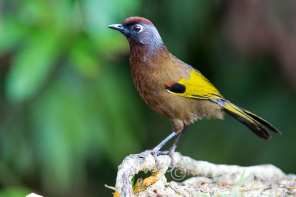 Photographing Birds of Frasers Hill- Chestnut-headed Laughingthrush
