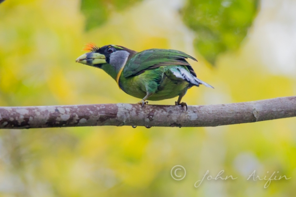 Photographing Birds of Frasers Hill- Fire Tufted Barbet
