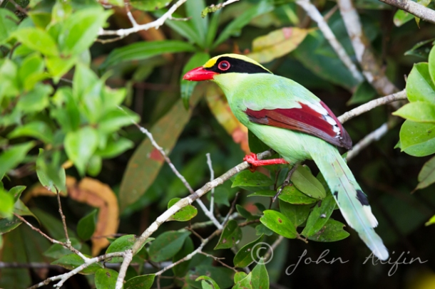 Photographing Birds of Frasers Hill. Green Magpie.