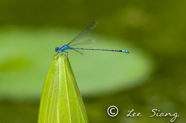 Damselfly- 3 day macro photography class Singapore