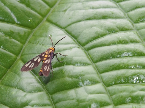 Day-flying Moth ( Syntomis huebneri) by Brenda