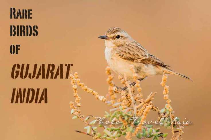 Bird watching in Kutch, Gujarat India- Stoliczka's Bushchat