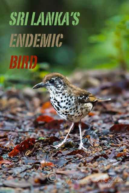 Bird watching and bird photography Sri Lanka