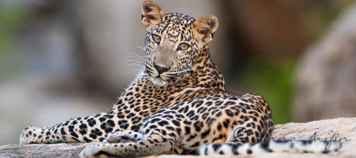Sri Lanka Leopard, Yala National Park