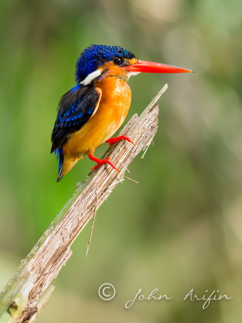 Blue-eared Kingfisher, Birds in Singapore