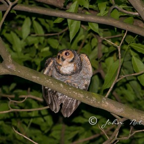 Owl, Birds near Orchard Road Singapore at night.