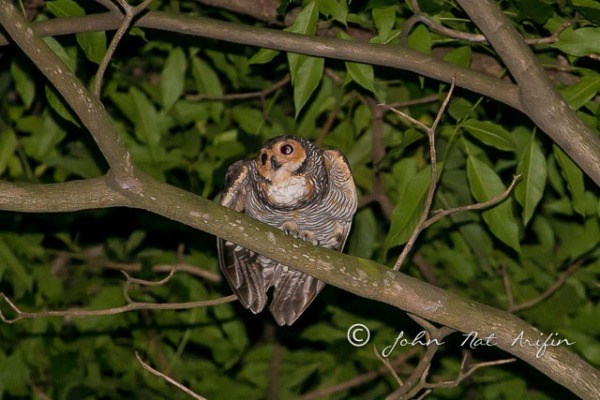 Spotted wood owl singapore