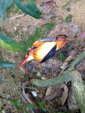Black-backed Kingfisher near Orchard Road,Singapore