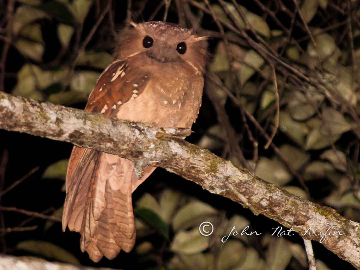 First image of Dulit Frogmouth