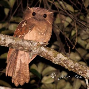 Dulit Frogmouth| First image of a very rare bird of Borneo| Kelabit Highland | Sarawak, Borneo