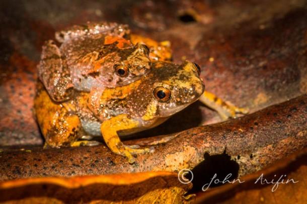 Tiny Frog of Kubah Sarawak Borneo