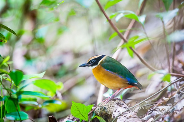 Blue-winged Pitta SIngapore