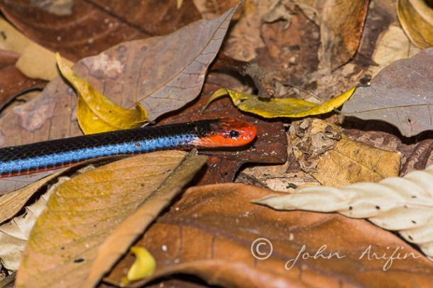 Blue Coral Snake or Malayan Coral snake (Calliophis bivirgatusta) Singapore near Terentang Trail (near HSBC TreeTop Walk, Singapore Island Club, MacRitchie Reservoir)