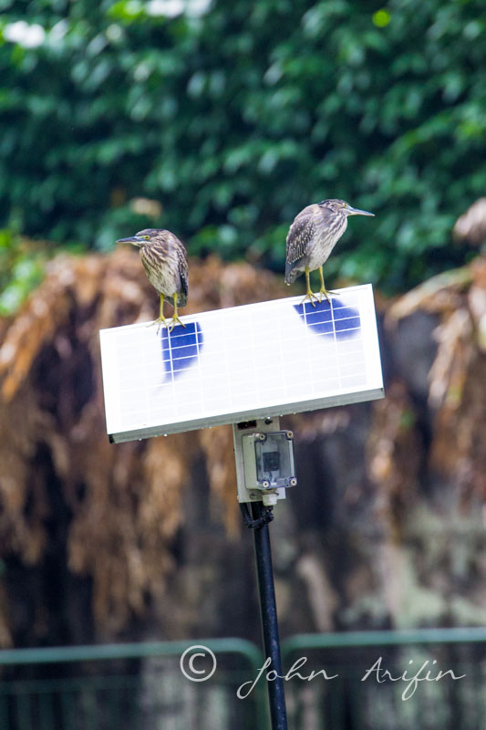 Spotted two Striated Herons on solar panel at Orchard Road