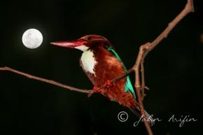 White-throated Kingfisher with full moon inSingapore