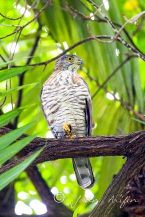 Crested Goshawk, Orchard RoadSingapore