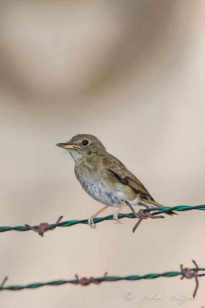 Brown-Chested Jungle Flycatcher.
