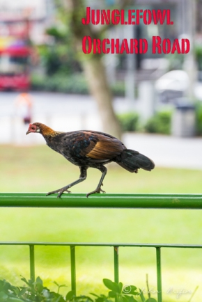 Red Junglefowls near Orchard Road, Singapore