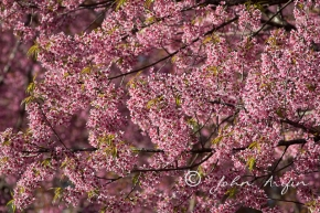 Cherry Blossom, Birding in Doi Inthanon, Doi Lang, Doi Pha Hom Pok National Park, Northern Thailand near ChiangMai.