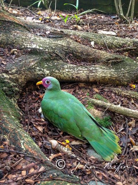 Jambu Fruit-Dove, Crashed at Winsland House, Birds at Orchard Road Singapore
