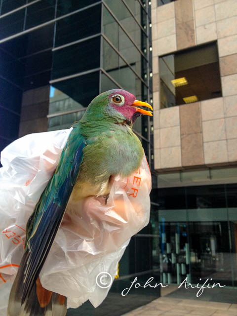 Jambu Fruit-Dove, Crashed at Winsland House, Birds at Orchard Road Singapore