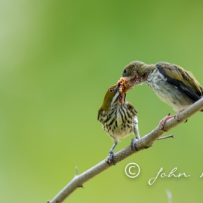 Parents of Yellow-vented Flowerpecker found their lost chick – Kaeng Krachan National Park