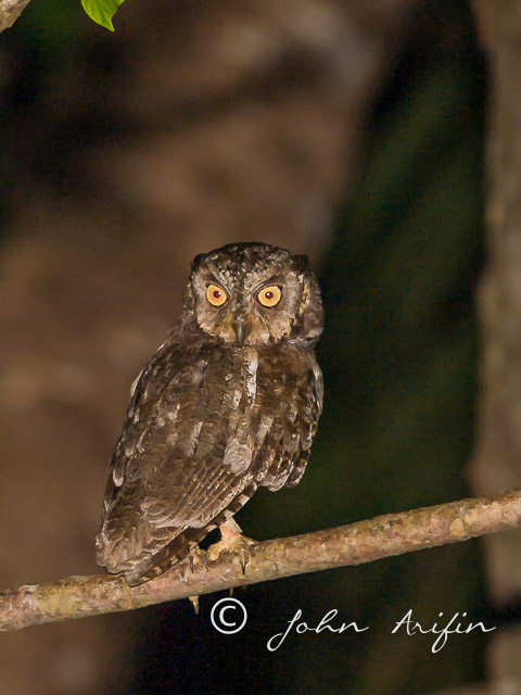 Mantanani Scops Owl, an endemic to Borneo.