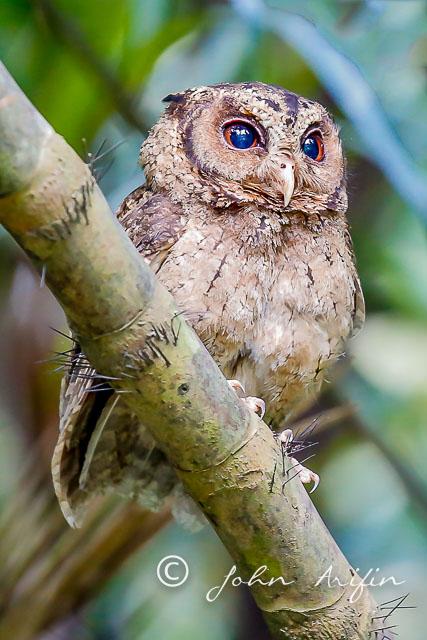 The awakening of the Sunda Scops Owl at the Singapore Botanical Gardens