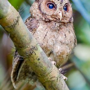 The awakening of the Sunda Scops Owl at the Singapore BotanicalGardens