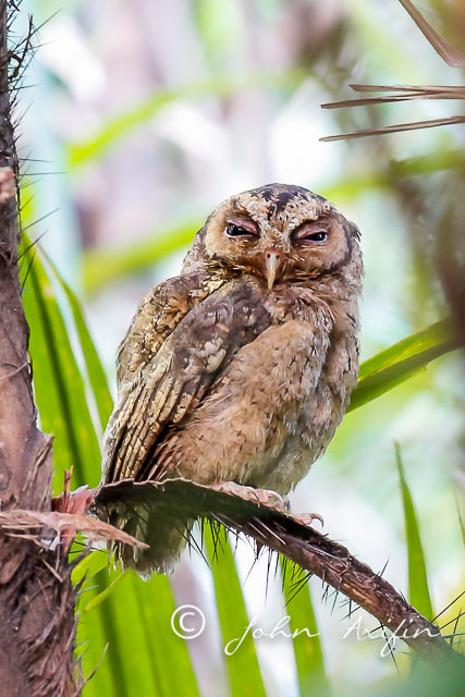 The Sunda Scops Owl on the sleeping branch. The awakening of the Sunda Scops Owl at the Singapore Botanical Gardens