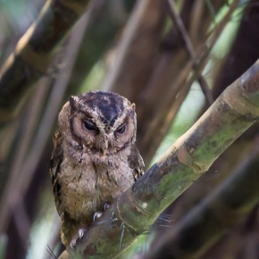 The awakening of the Sunda Scops Owl at the Singapore Botanical Gardens|UNESCO World Heritage Site