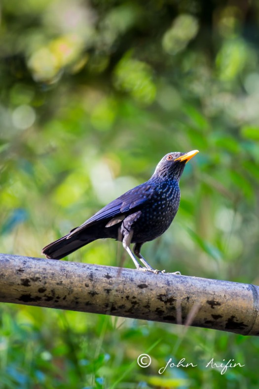 blue-whistling-thrush,thailand-1346
