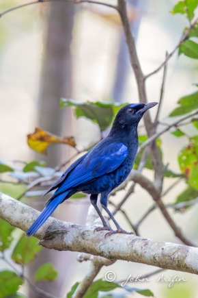 Whistling-Thrushes in Borneo, India, Malaysia, Sri Lanka, Sumatra & Thailand| Birding inAsia