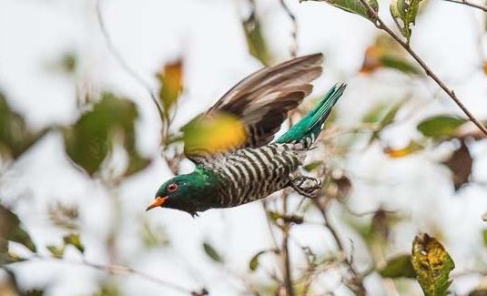 Asian Emeral Cuckoo-0192