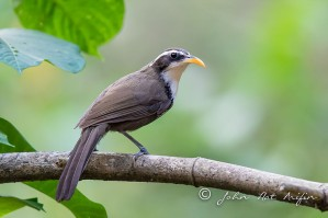 Indian Scimitar-babbler
