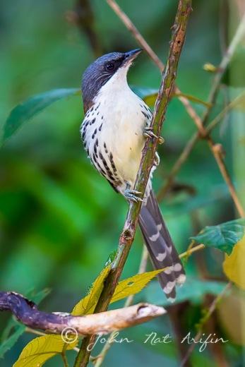 Endemics c bird of Vietnam in Dalat