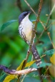 Endemics c bird of Vietnam in Dalat